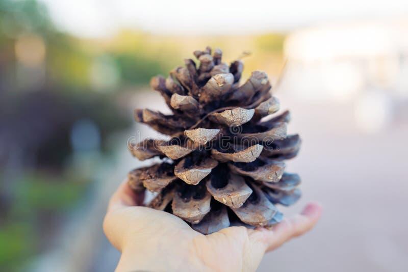 Cono del pino en la mano fotografía de archivo