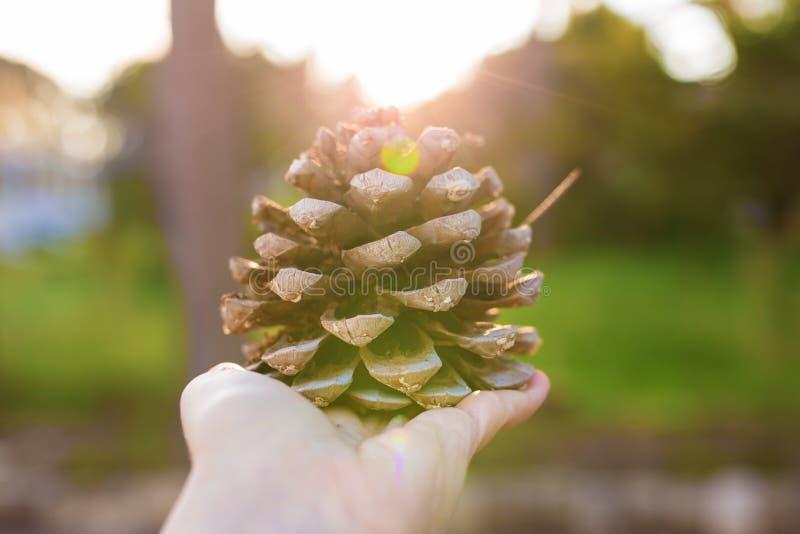 Cono del pino en la mano en luz del sol fotos de archivo libres de regalías