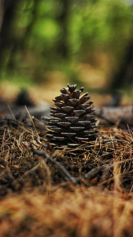 Cono del pino en piceas foto de archivo libre de regalías