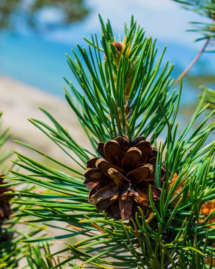 Cono del pino su una filiale Pigna su una composizione naturale nella foresta del ramo Una foto fotografie stock libere da diritti