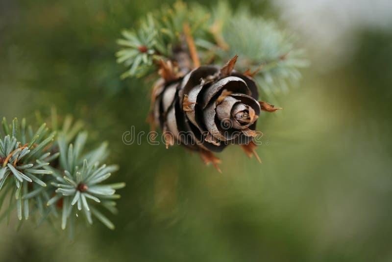 Cono del pino sull'abete rosso blu fotografia stock libera da diritti