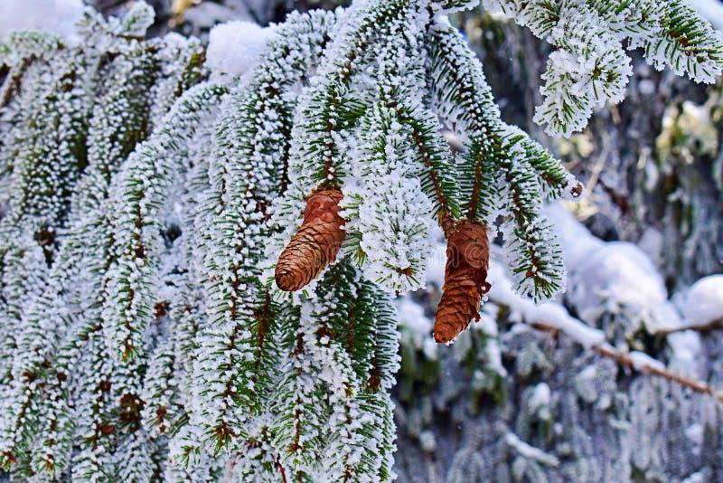 Cono del pino y árbol de pino cubierto en nieve fotos de archivo libres de regalías