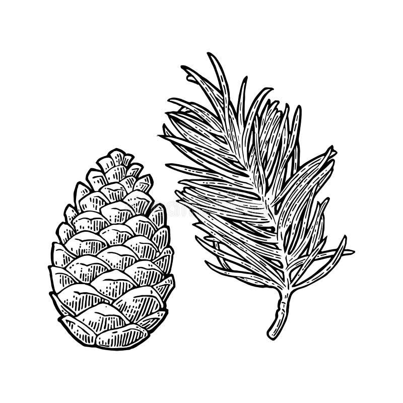 Cono del pino y rama del árbol de abeto Ejemplo del grabado del negro del vintage del vector stock de ilustración