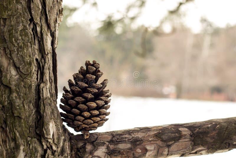 Cono di Natale su un ramo di albero nell'inverno immagini stock libere da diritti