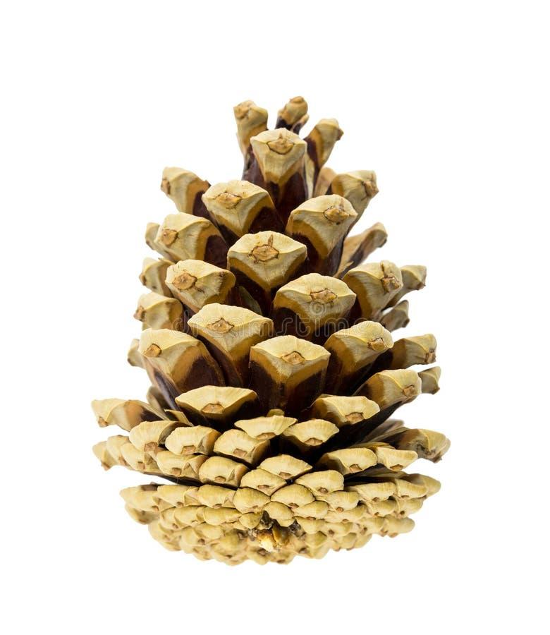 Cono marrone naturale voluminoso del primo piano delle conifere su fondo bianco, elemento della decorazione fotografia stock