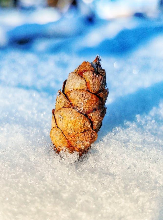 Cono miniatura del pino en nieve foto de archivo libre de regalías