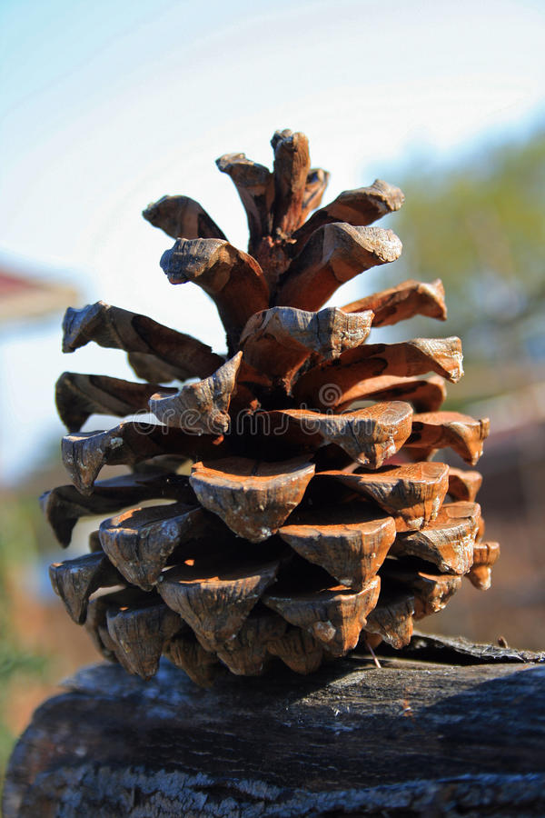 Cono secado del pino foto de archivo