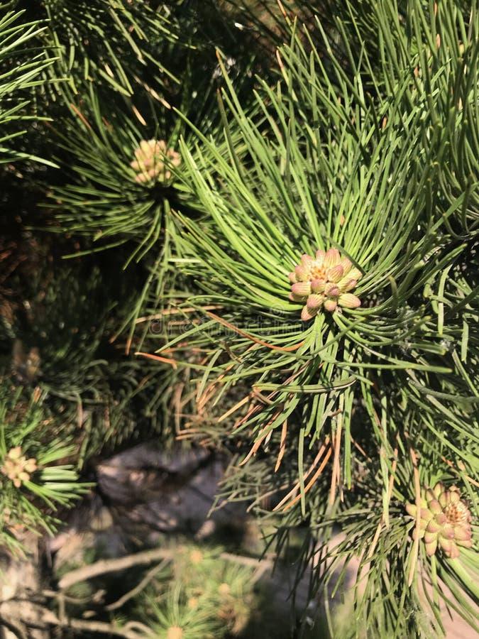 Cono sull'albero Piccolo grumo che cresce su un albero immagine stock libera da diritti