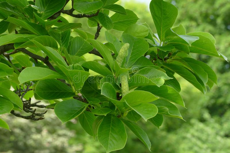 Cono verde de la magnolia fotos de archivo libres de regalías