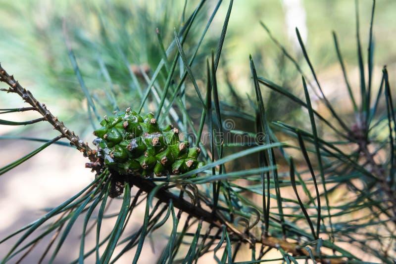 Cono verde en la rama con la aguja imagen de archivo