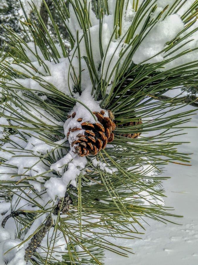 Cono y agujas nevados del pino de Colorado en invierno fotografía de archivo