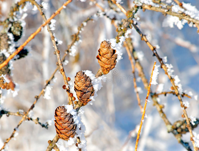 Conos con los cristales de la nieve foto de archivo libre de regalías