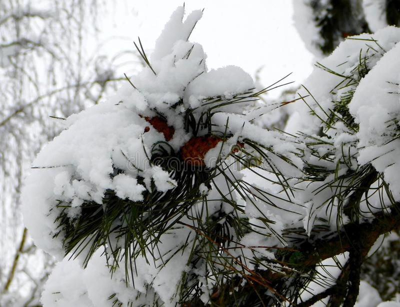 Conos cubiertos con nieve foto de archivo