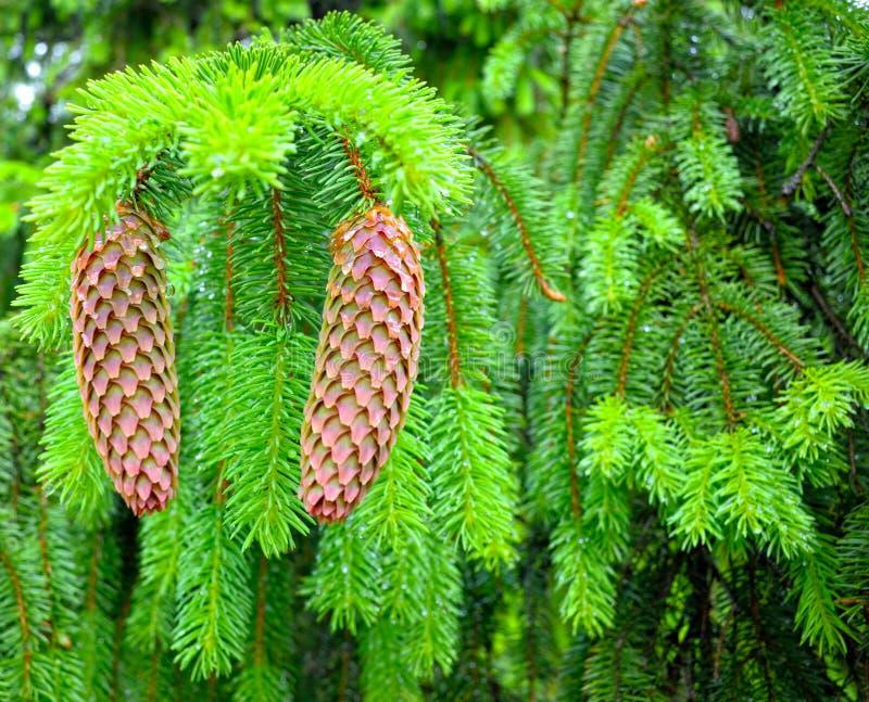 Conos de abeto del árbol de abeto fotografía de archivo libre de regalías