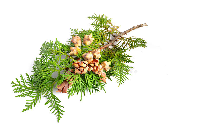Conos de Cypress imagen de archivo