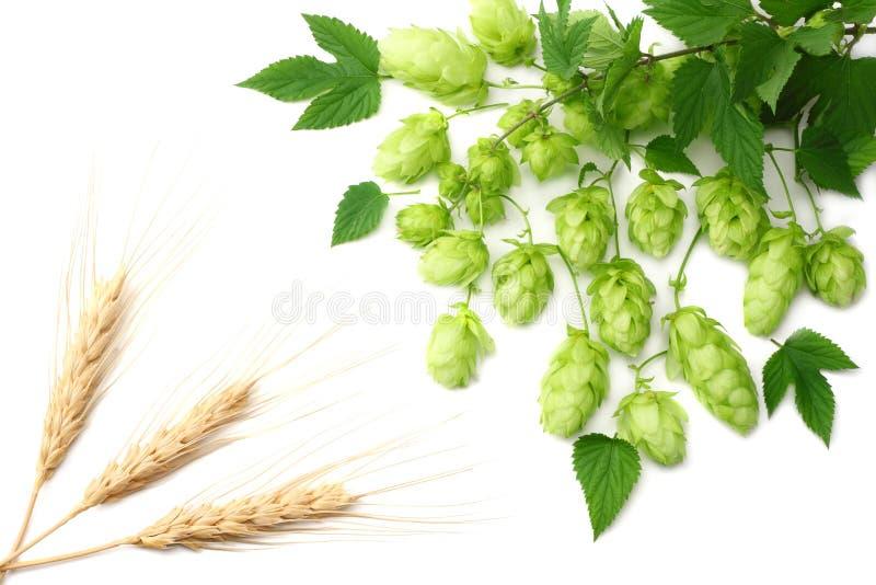 Conos de salto aislados en el fondo blanco Cerveza que elabora los ingredientes Concepto de la cervecería de la cerveza Fondo de  imagen de archivo libre de regalías