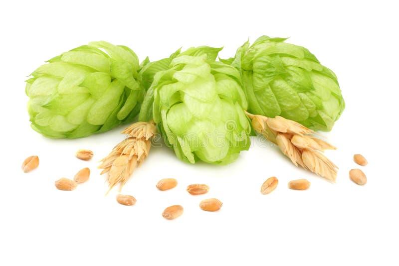 Conos de salto y oídos del trigo aislados en el fondo blanco Cerveza que elabora los ingredientes Concepto de la cervecería de la fotos de archivo libres de regalías