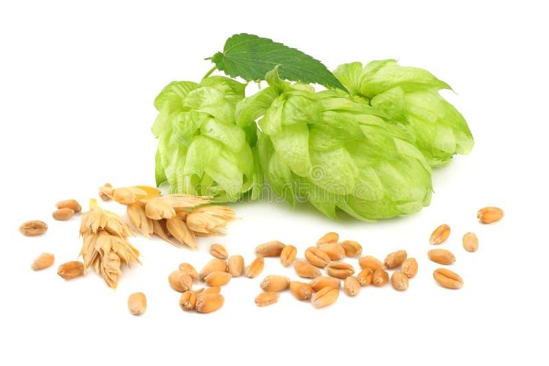 Conos de salto y oídos del trigo aislados en el fondo blanco Cerveza que elabora los ingredientes Concepto de la cervecería de la imagenes de archivo