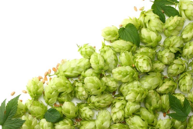 Conos de salto y oídos del trigo aislados en el fondo blanco Cerveza que elabora los ingredientes Concepto de la cervecería de la foto de archivo