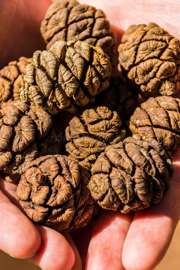 Conos del árbol de la secoya gigante, bosque gigante, California los E.E.U.U. imagen de archivo