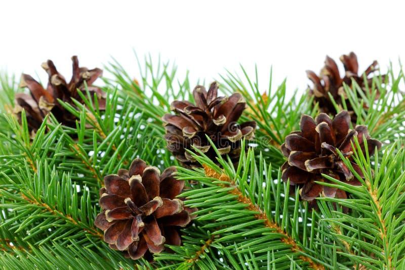 Conos del pino con la rama aislada en un blanco fotos de archivo