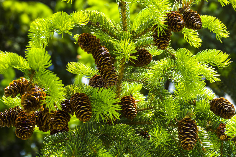 Conos del pino de Brown en el árbol de pino imagen de archivo libre de regalías