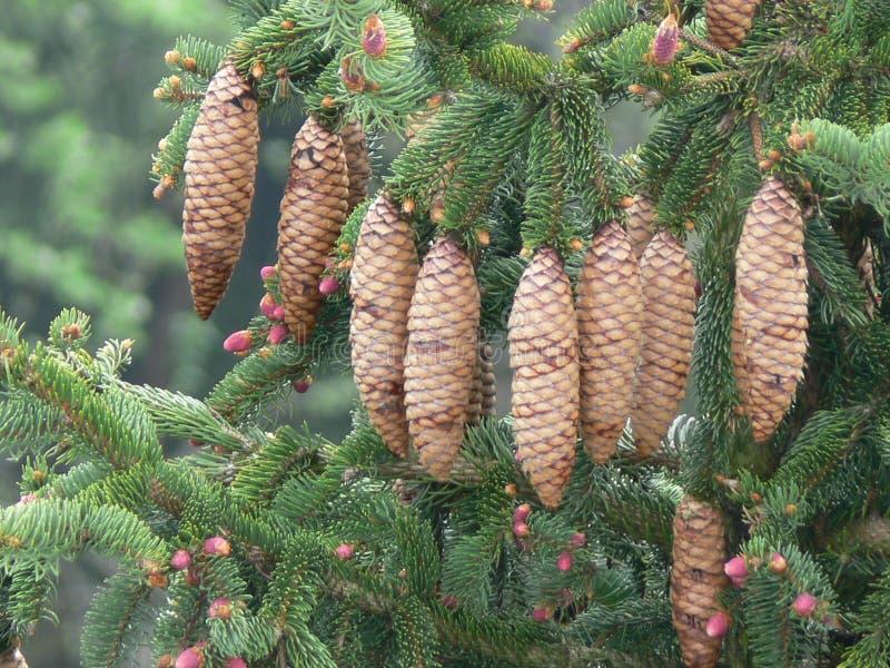 Conos del pino de la picea de Noruega (la Picea abies) - imágenes de archivo libres de regalías