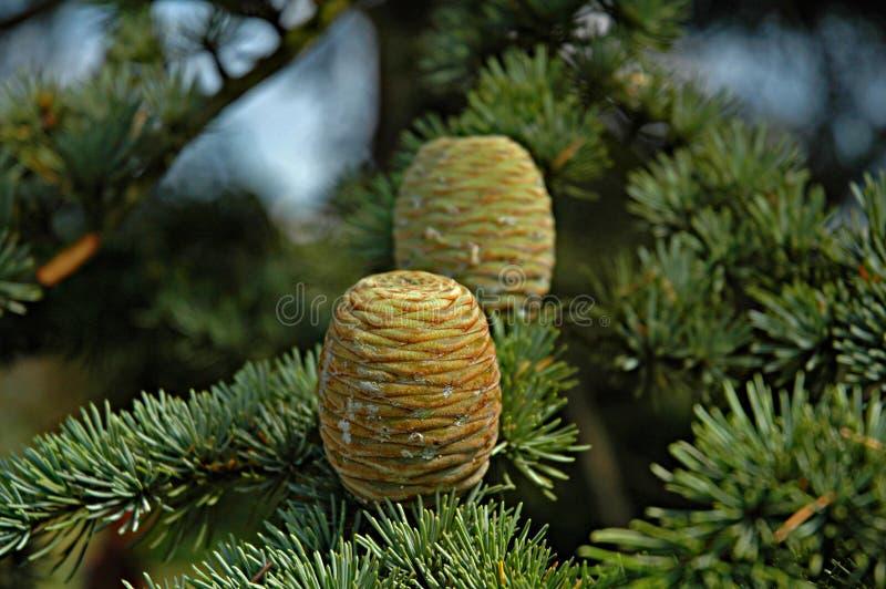 Conos del pino del cedro imagen de archivo libre de regalías