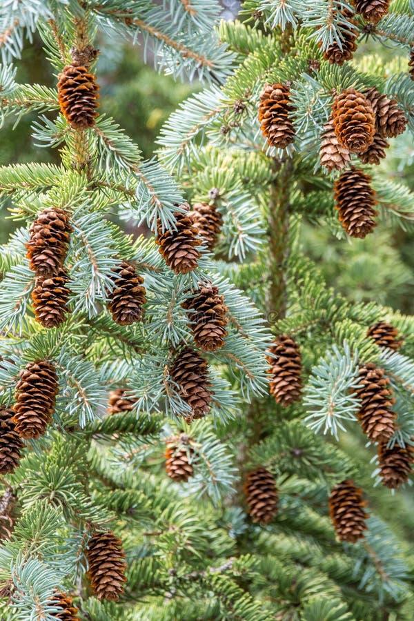 Conos del pino en árbol foto de archivo libre de regalías
