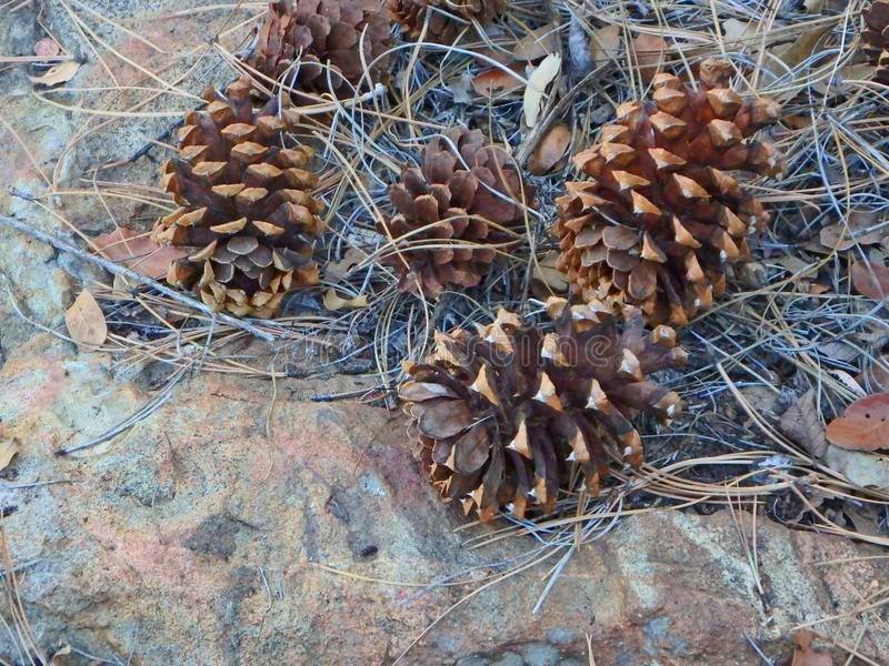 Conos del pino en el rastro a cuatro picos imagenes de archivo