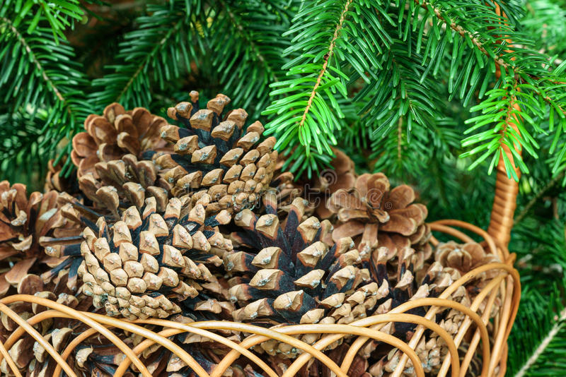 Conos del pino en una cesta con las ramas del cierre de la conífera para arriba imagen de archivo