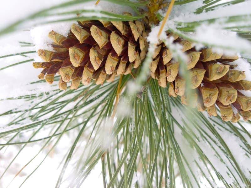 Conos del pino del invierno imágenes de archivo libres de regalías