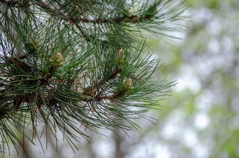 Conos del pino que crecen en la rama imagen de archivo