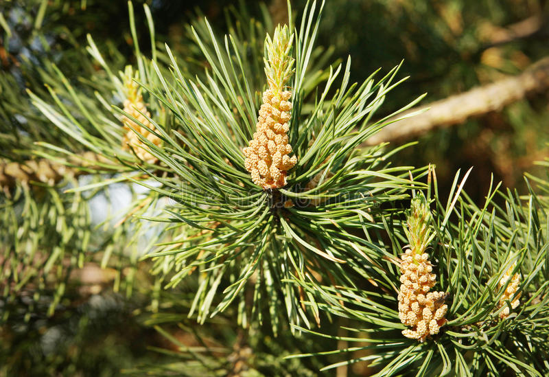 Conos futuros en el árbol de pino foto de archivo libre de regalías