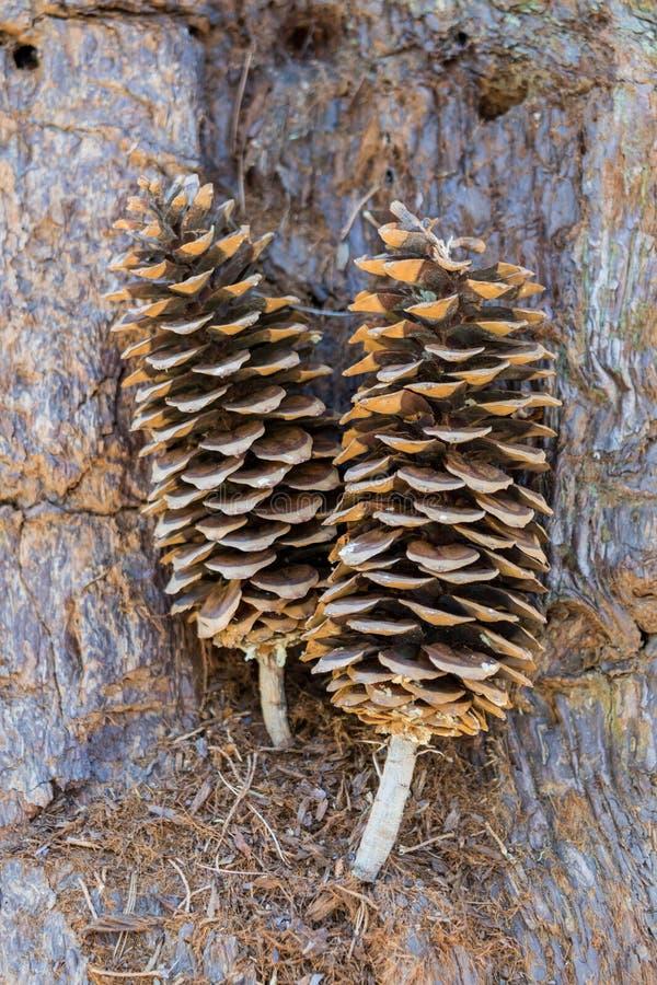 Conos grandes del pino que se sientan en corteza fotografía de archivo
