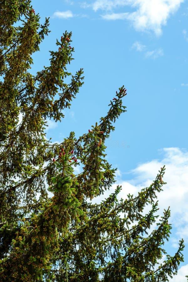 Conos jovenes del pino rojo que crecen en las ramas de un árbol de abeto verde imágenes de archivo libres de regalías