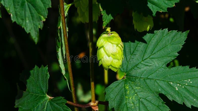 Conos verdes de la flor en el salto común, Humulus Lupulus, primer, foco selectivo, DOF bajo imagen de archivo