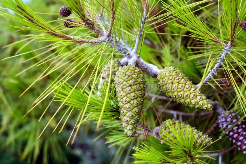 Conos verdes en el árbol de pino imagen de archivo