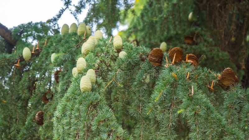 Conos verdes jovenes de la conífera del árbol de abeto del pino fotos de archivo libres de regalías