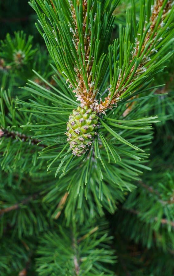 Conos verdes jovenes del cedro en una rama de un cedro joven imágenes de archivo libres de regalías
