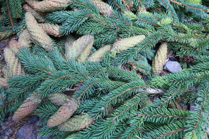 Conos y ramas spruce verdes imágenes de archivo libres de regalías