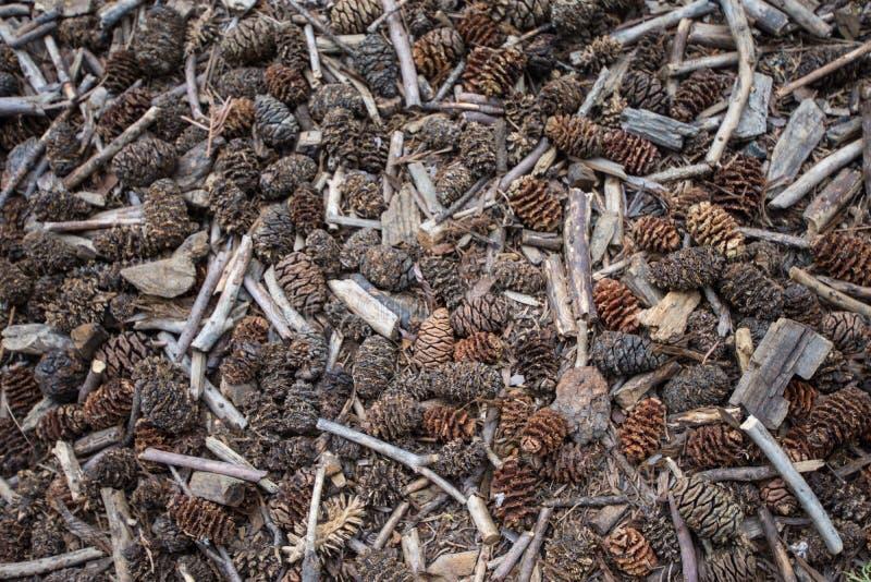 Conos y ramitas del pino del árbol de la secoya en el piso del bosque en parque nacional de secoya foto de archivo