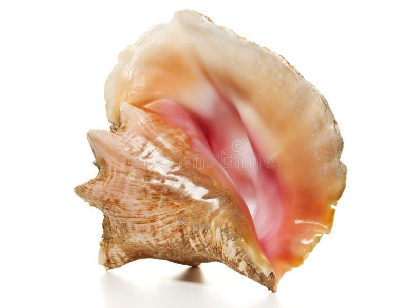 Conque de la Reine - escargot de mer de Strombus  photographie stock