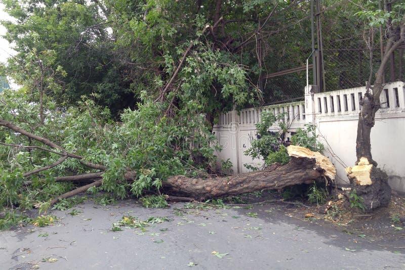 Consecuencias del huracán, árboles enormes caidos Árboles quebrados por la mitad Destrucción después de la invasión de elementos foto de archivo libre de regalías
