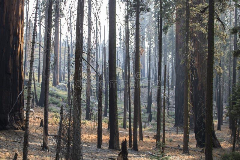 Consequências do fogo na floresta com o bosque queimado da árvore foto de stock royalty free