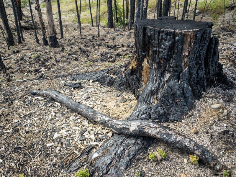 Consequências do incêndio florestal com cotoes queimados fotos de stock royalty free