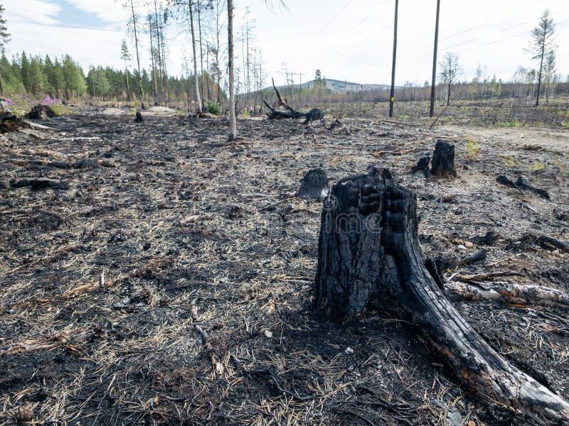 Consequências do incêndio florestal com cotoes queimados imagens de stock royalty free