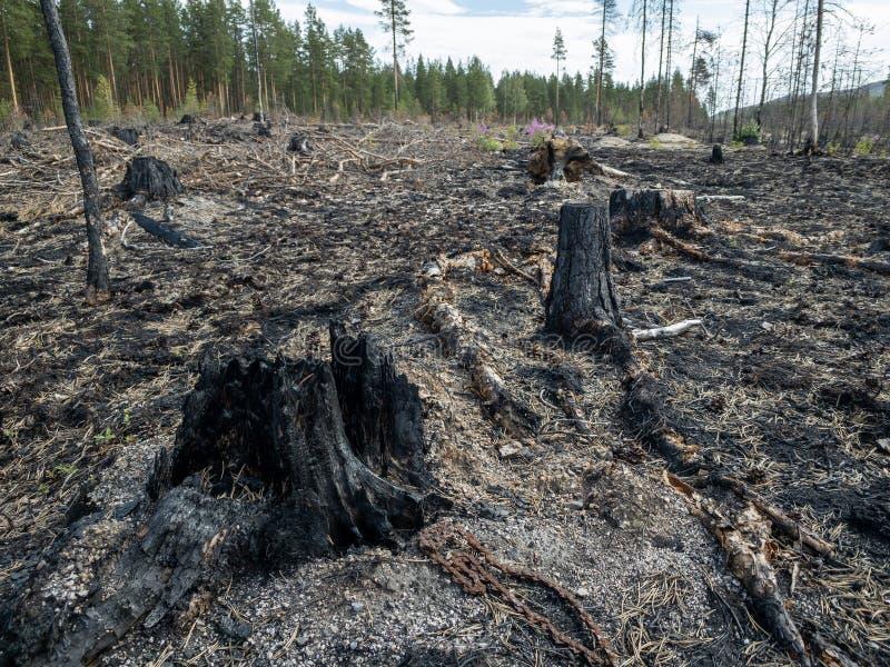 Consequências do incêndio florestal com cotoes queimados fotos de stock