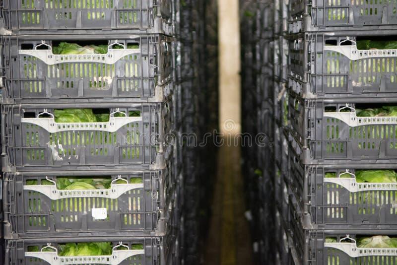 Conservación en cámara frigorífica de verduras llenas frescas en cajas plásticas en grande imagen de archivo libre de regalías