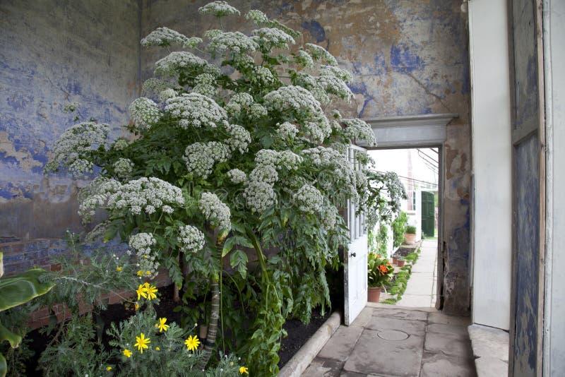 Conservatório chique gasto velho com a planta gigante que cresce para dentro fotos de stock royalty free